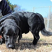 Adopt A Pet :: Bo - Brattleboro, VT