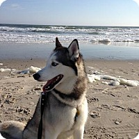 Adopt A Pet :: Nikka - Brick, NJ