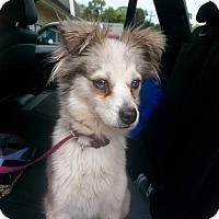 Adopt A Pet :: Coco - Sugar Land, TX