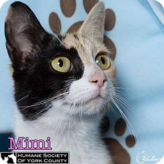 Calico Cat for adoption in Fort Mill, South Carolina - Mimi