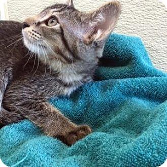 Domestic Shorthair Kitten for adoption in Las Vegas, Nevada - Elvira