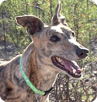 Greyhound Dog for adoption in Tucson, Arizona - Kelsie