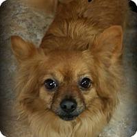 Adopt A Pet :: Scooby - Anaheim Hills, CA