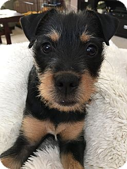 Terrier (Unknown Type, Medium)/Airedale Terrier Mix Puppy for adoption in Allentown, Pennsylvania - Bailey