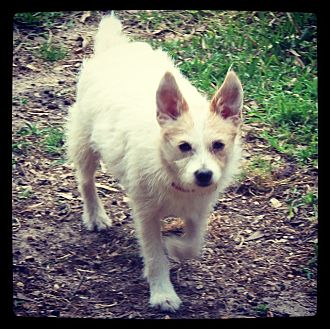 Fox Terrier (Toy) Mix Dog for adoption in Grand Bay, Alabama - Basil