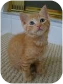 Domestic Shorthair Kitten for adoption in Coral Springs, Florida - Layla