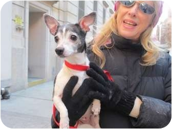 Chihuahua Dog for adoption in Long Beach, New York - Nellie