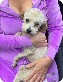 Toy Poodle Dog for adoption in Encinitas, California - Bettina