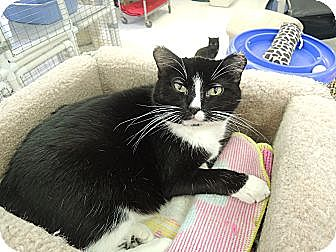 Domestic Shorthair Cat for adoption in House Springs, Missouri - Juliet