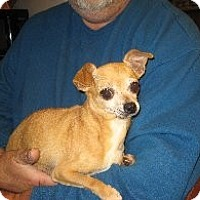 Chihuahua Dog for adoption in Rochester, New York - Flora