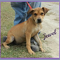 Adopt A Pet :: Jewel - Lawrenceburg, TN