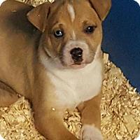 Adopt A Pet :: GRACE LITTER BLUE EYED - Pompton Lakes, NJ