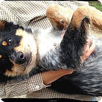 Adopt A Pet :: Bloke - Bastrop, TX