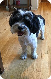 Shih Tzu/Poodle (Miniature) Mix Dog for adoption in Tumwater, Washington - Terri