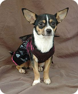 Chihuahua Dog for adoption in West Springfield, Massachusetts - Millie