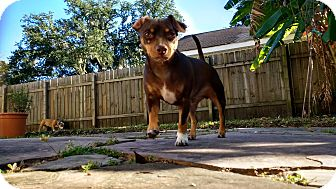 Dachshund/Chihuahua Mix Dog for adoption in Marrero, Louisiana - Dante