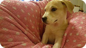 American Bulldog/Retriever (Unknown Type) Mix Puppy for adoption in Plano, Texas - Sallie