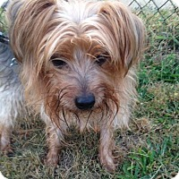 Yorkie, Yorkshire Terrier Dog for adoption in Pennington, New Jersey - Chowder