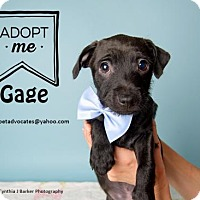 Adopt A Pet :: Gage - Pearland, TX