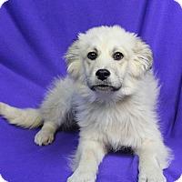 Adopt A Pet :: PAPAYA - Westminster, CO