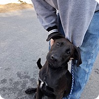 Adopt A Pet :: Ash - Media, PA