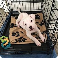 Adopt A Pet :: Gideon - Catasauqua, PA