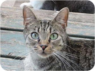Domestic Shorthair Cat for adoption in Toluca Lake, California - Molly