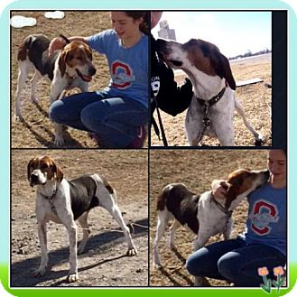Treeing Walker Coonhound Dog for adoption in Garber, Oklahoma - Haven