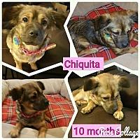 Spaniel (Unknown Type)/Tibetan Spaniel Mix Dog for adoption in LAKEWOOD, California - Chiquita