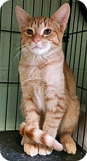 Domestic Shorthair Kitten for adoption in Union, New Jersey - Fred