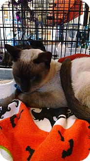 Siamese Cat for adoption in Fischer, Texas - Scooter
