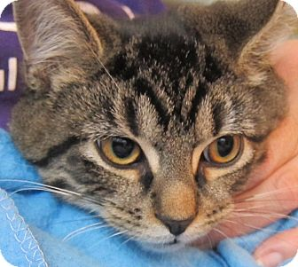 Domestic Shorthair Kitten for adoption in Lambertville, New Jersey - Sean
