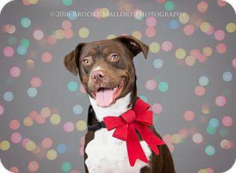 Husky/Retriever (Unknown Type) Mix Puppy for adoption in Redmond, Washington - Jack Tripper