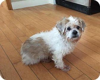 Shih Tzu Mix Dog for adoption in Baltimore, Maryland - Gizmo