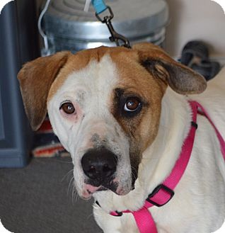 Labrador Retriever/Pointer Mix Dog for adoption in Plainfield, Connecticut - Angel