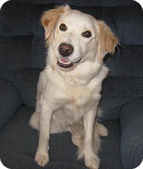 Spaniel (Unknown Type) Mix Dog for adoption in Golden Valley, Arizona - Cory