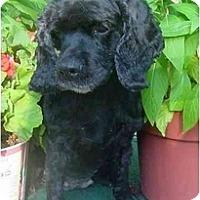 Adopt A Pet :: Abby - Sugarland, TX