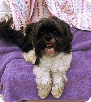 Shih Tzu Mix Dog for adoption in University Park, Illinois - Jeremiah