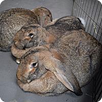 Adopt A Pet :: Lenny, Lola & Lambsy - Montclair, CA