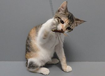 Domestic Shorthair Cat for adoption in Seguin, Texas - Amy
