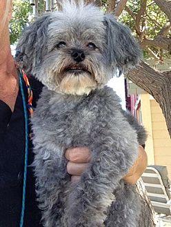 Poodle (Miniature) Mix Dog for adoption in Temecula, California - Scruffy