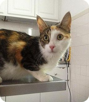 Calico Cat for adoption in NYC, New York - BASIL
