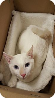 Siamese Cat for adoption in Sherman Oaks, California - Snowy