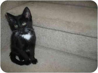 Domestic Shorthair Kitten for adoption in Loveland, Colorado - Tux