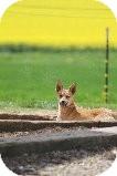 Basenji Mix Puppy for adoption in Russellville, Kentucky - Zach