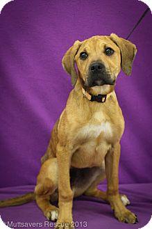 Mastiff/Boxer Mix Puppy for adoption in Broomfield, Colorado - Jack Daniels
