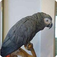 Adopt A Pet :: Mithrandir - Salt Lake City, UT