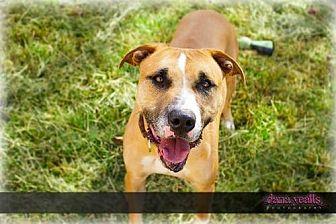 Labrador Retriever/Boxer Mix Dog for adoption in Chatham, Virginia - Max
