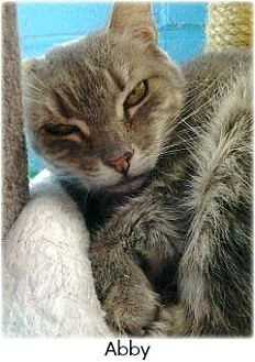 Domestic Shorthair Cat for adoption in Huntington, New York - Abbey