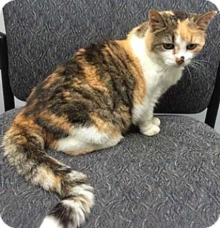Calico Cat for adoption in Merrifield, Virginia - Meadowlark
